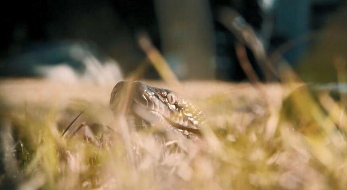 La puissance des serpents constricteurs