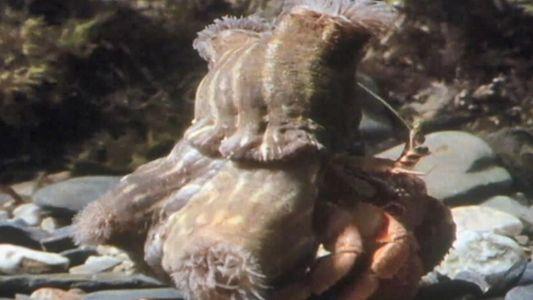 Ce bernard-l'hermite accroche des anémones à sa coquille pour se protéger