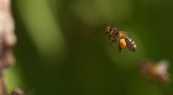 Se soigner avec des piqûres d'abeilles ? C'est possible