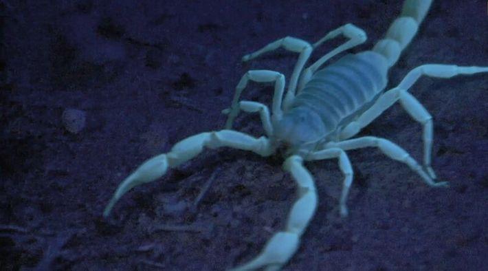 Le scorpion, redoutable chasseur... et cannibale