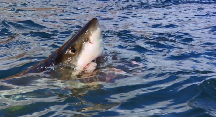 Lorsqu'un requin attaque, il ferme les yeux