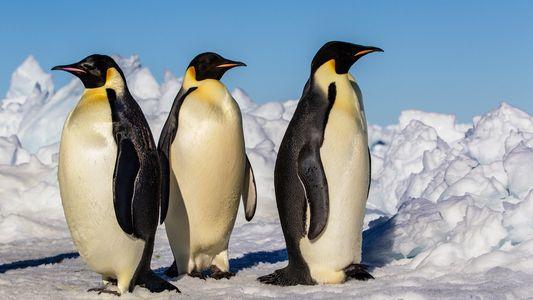 Sciences : observer les pingouins pour comprendre le pliosaure