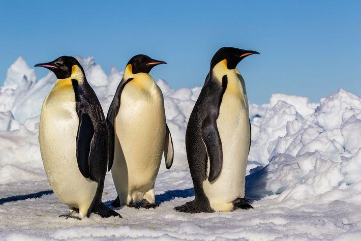 Observer les pingouins pour comprendre l'un des plus grands prédateurs de l'histoire