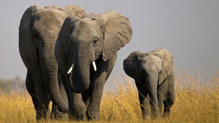 L'éléphant, maître de l'auto-défense