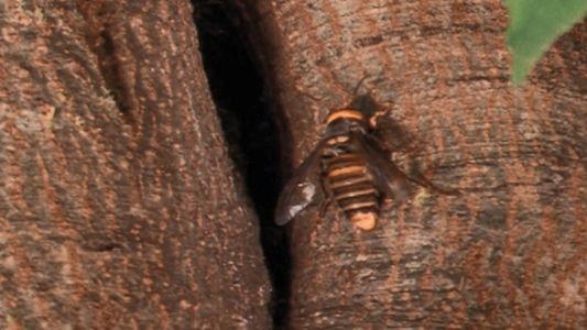 Le redoutable système de défense de l'abeille japonaise face à un frelon