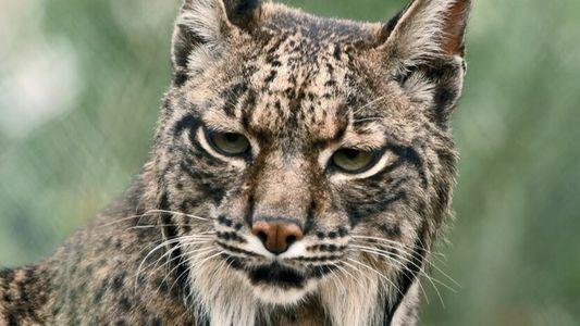 Un lynx eurasien s'occupe de ses petits