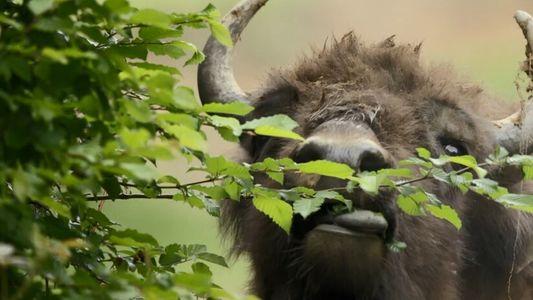 La réhabilitation du bison en Europe