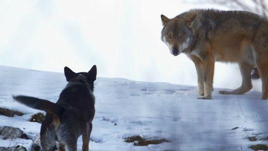 Des chiens de berger des Carpathes affrontent des loups affamés