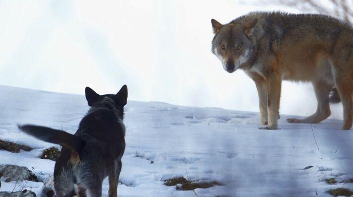 Les chiens de bergers des Carpates, grands rivaux des loups affamés