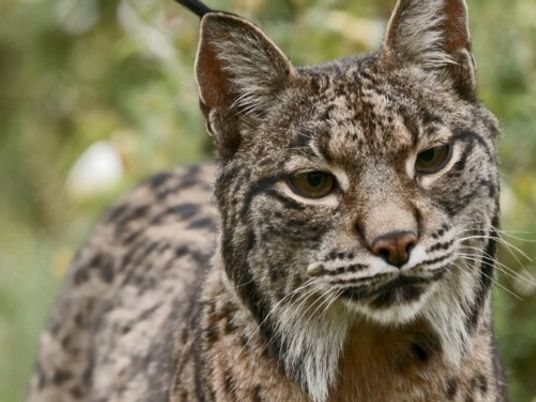 Expert en camouflage : l'insaisissable lynx ibérique