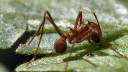 La fourmi coupe-feuille, cet insecte capable de déchiqueter un arbre
