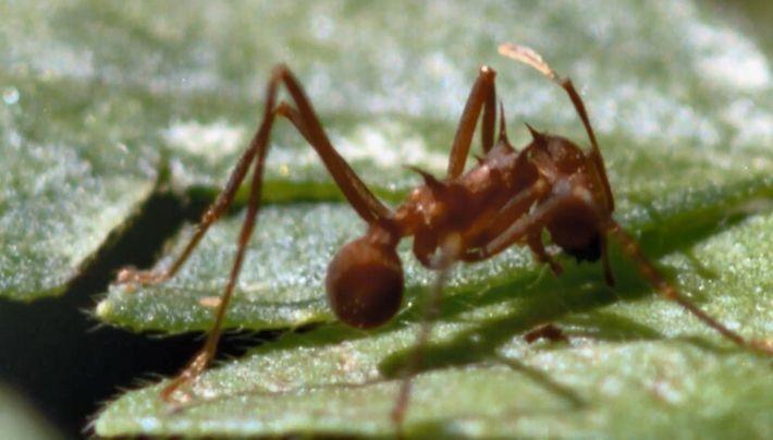 La fourmi coupe-feuille, capable de déchiqueter un arbre