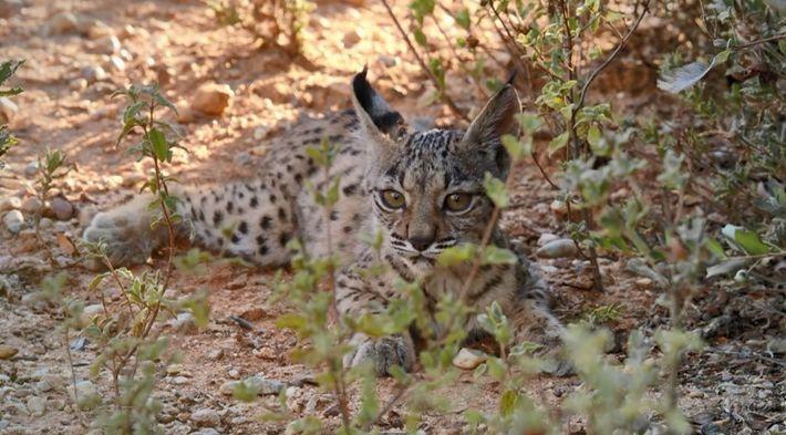 Comment les bébés lynx apprennent-ils à chasser ?