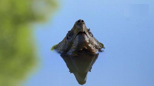 Insolite : l'attaque des tortues alligators