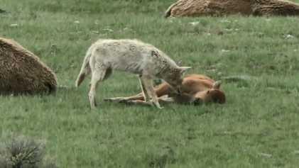 Jeux dangereux entre un bison juvénile et un coyote