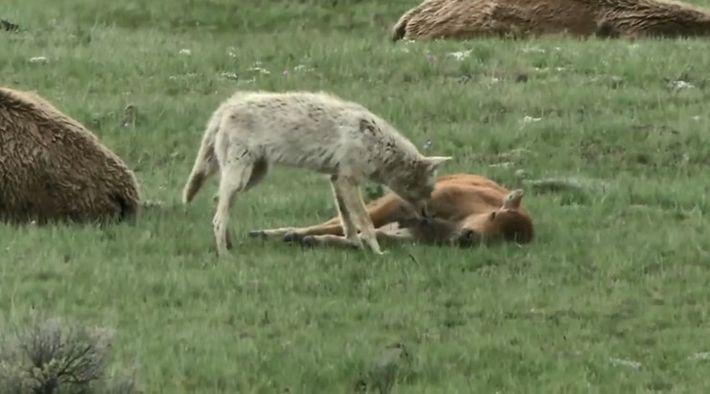 Jeu dangereux entre un bébé bison et un coyote