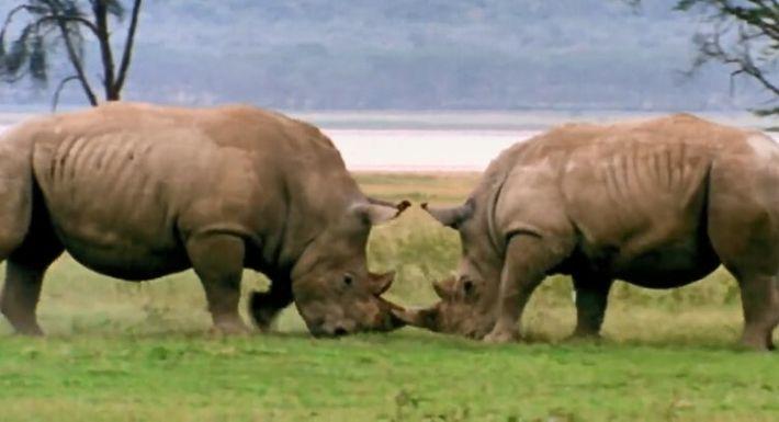 Duel de rhinocéros
