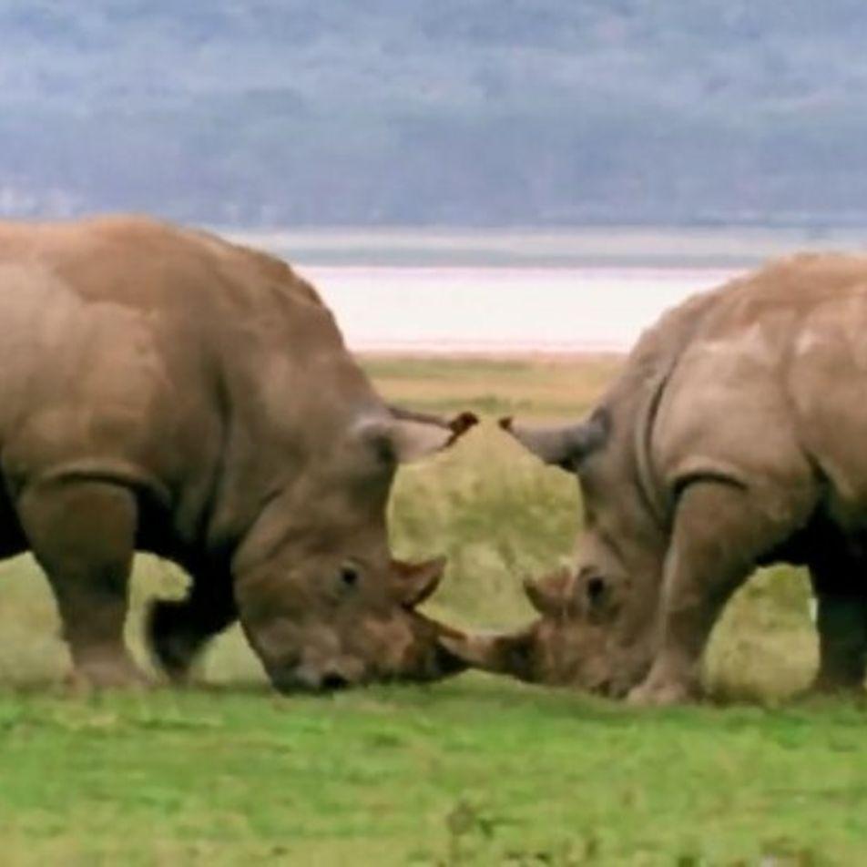Vidéo : violent duel de rhinocéros mâles