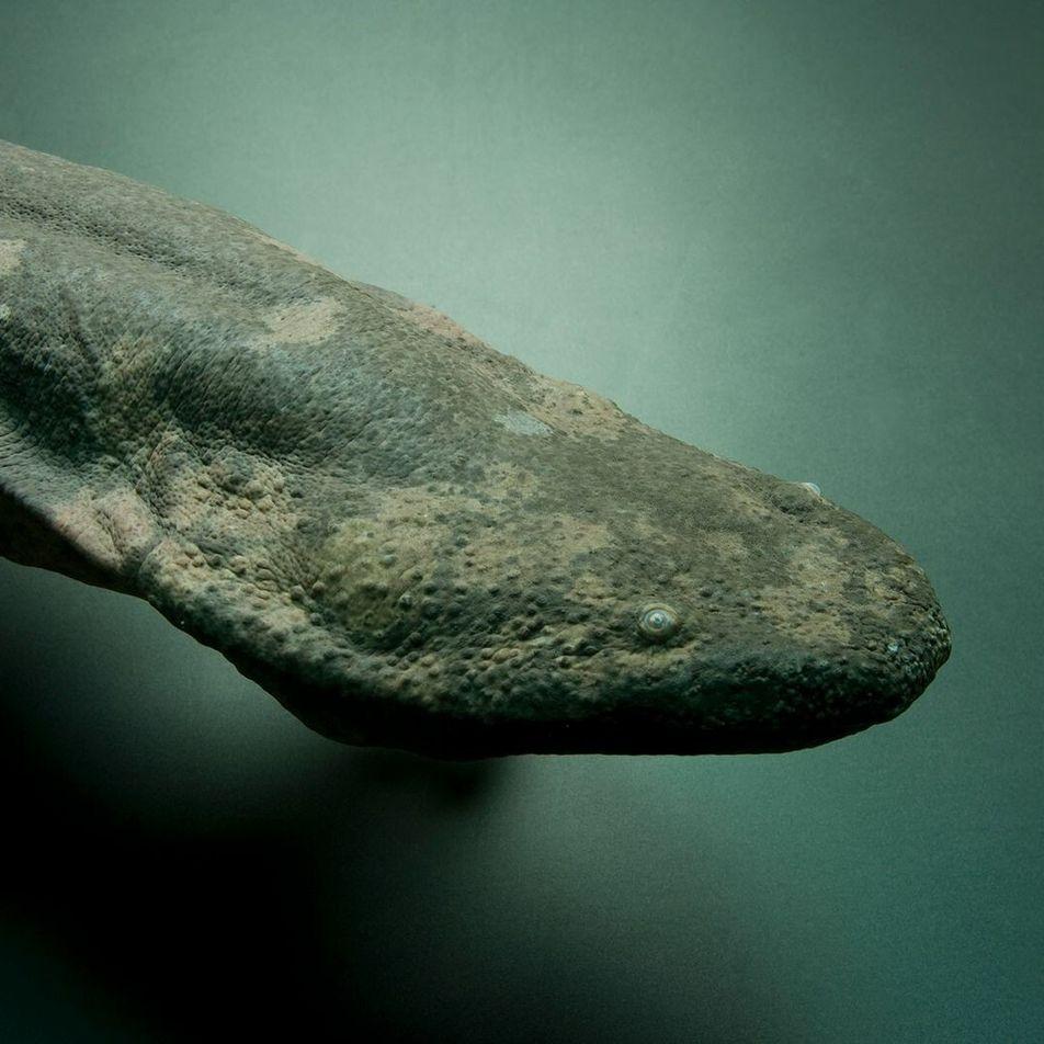 La salamandre géante, plus grand amphibien au monde