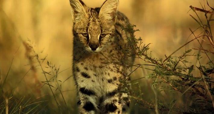 Un serval attaque une pintade de Numidie