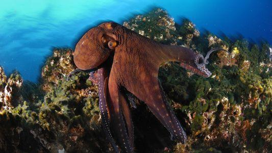 Ce poulpe géant capture ses proies grâce à ses 2 240 ventouses