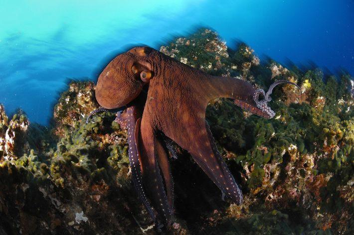 Cette pieuvre géante capture ses proies avec ses 2 240 ventouses