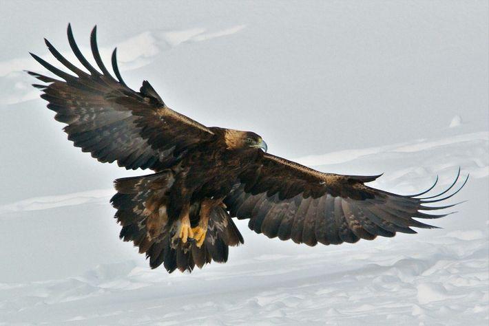 Images rares d'une attaque d'aigle royal
