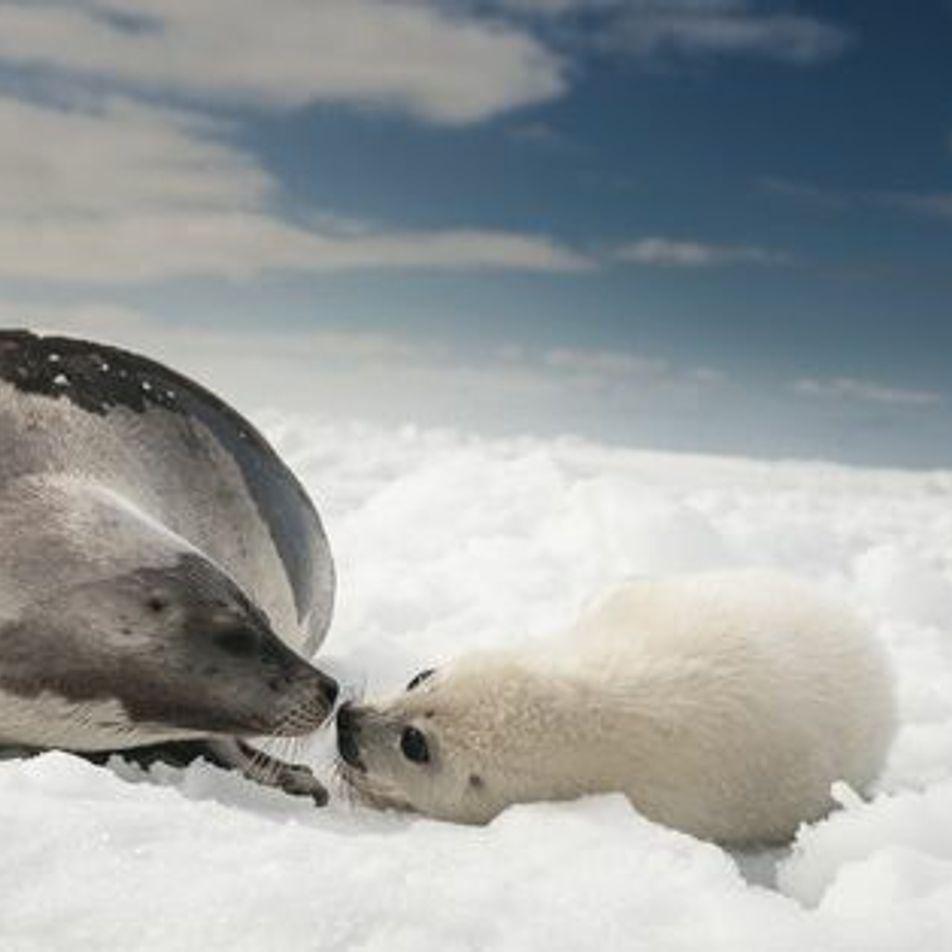 Adorables : les bébés phoques de l'Arctique
