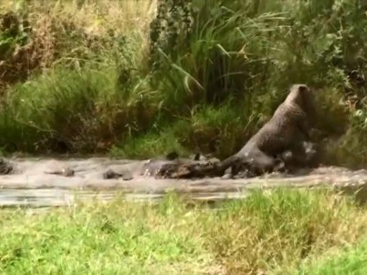 Combat mortel entre un guépard et un crocodile du Nil