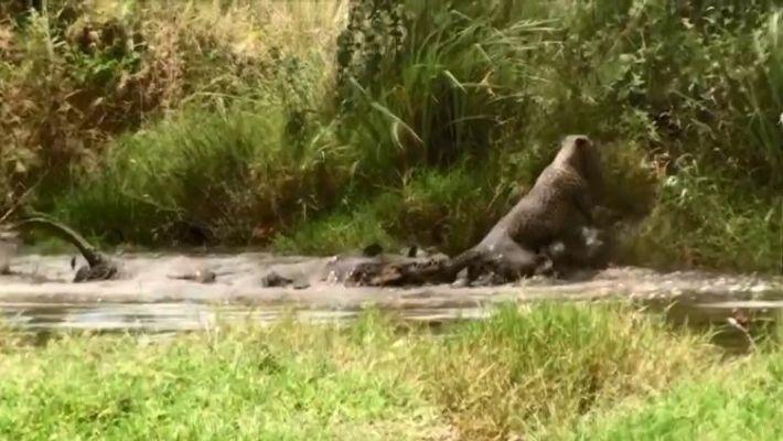 Un crocodile du Nil se bat avec un guépard