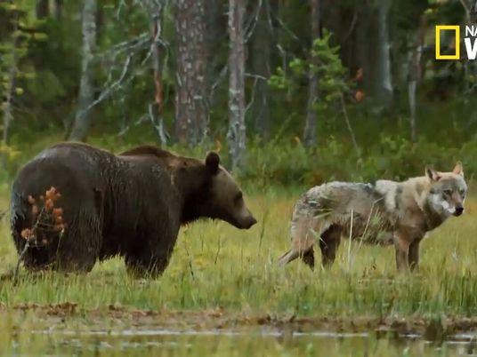 Une meute de loups contre une famille d'ours