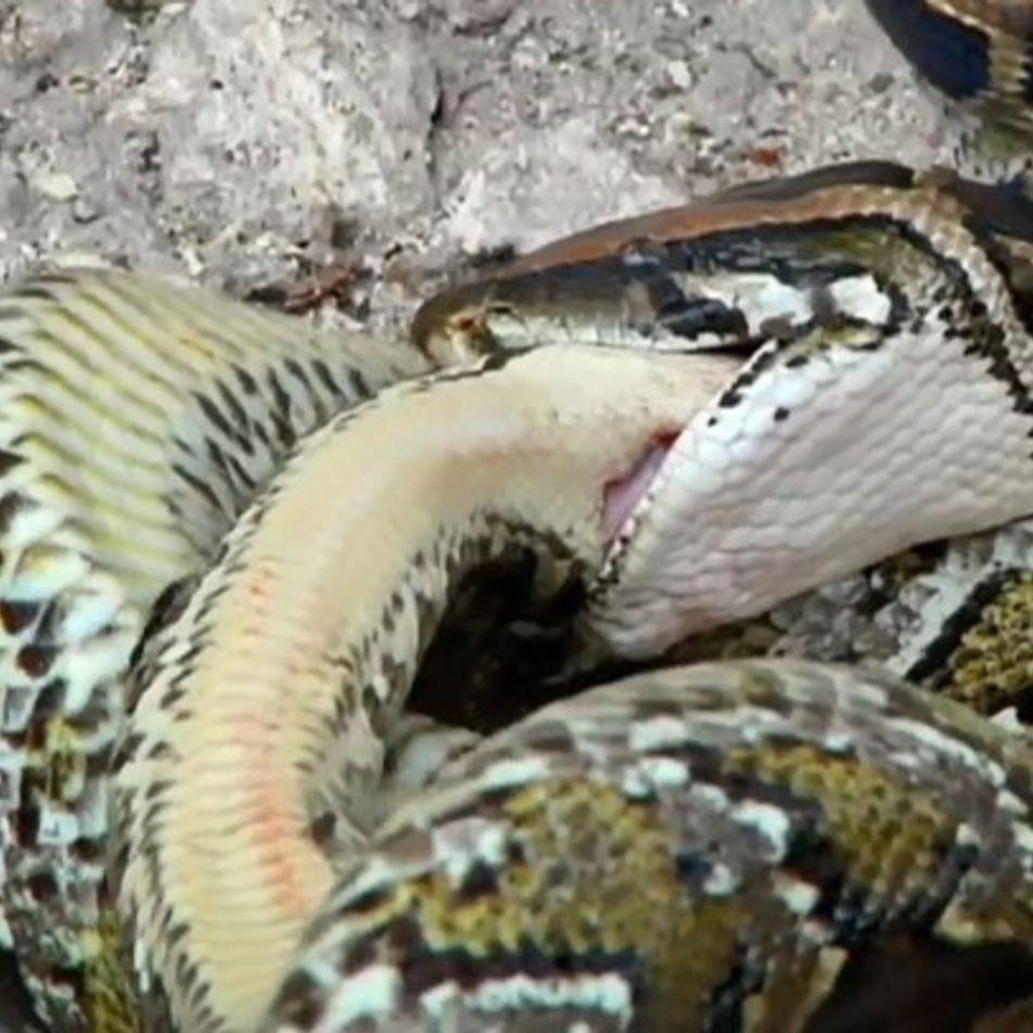 Vidéo : ce python cannibale dévore l'un de ses congénères