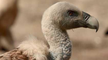Les majestueux vautours de la vallée de Cöa