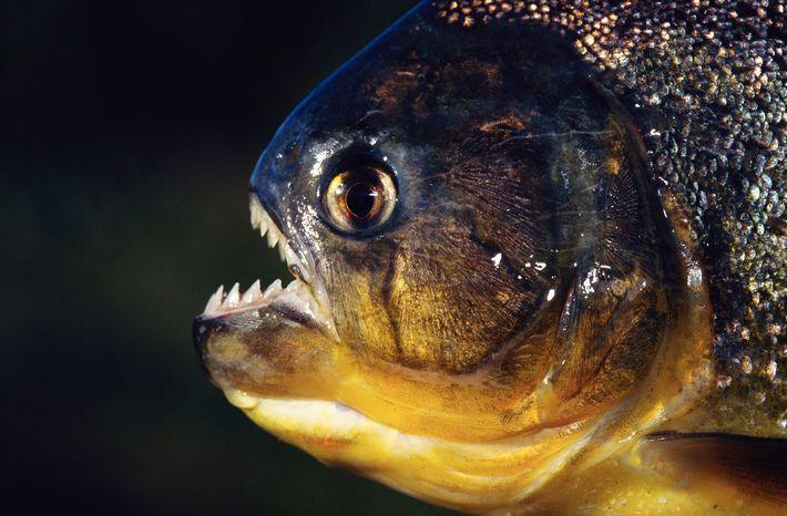 Voici comment les piranhas dévorent leurs proies