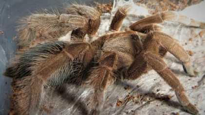 30 cm d'envergure : l'araignée Goliath, plus grande araignée du monde