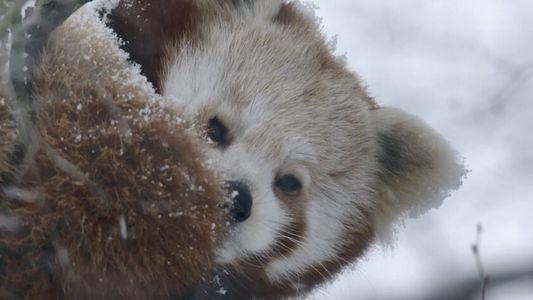 Un panda roux tente d'échapper à une panthère des neiges affamée