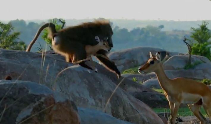 Chez le babouin, le désir de viande est parfois trop fort