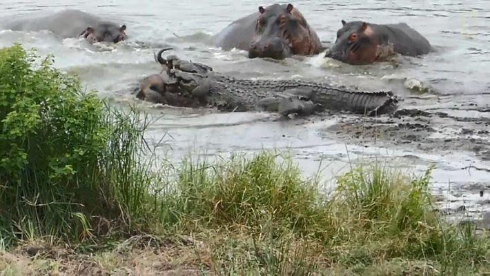 Des hippopotames et des crocodiles s'affrontent violemment