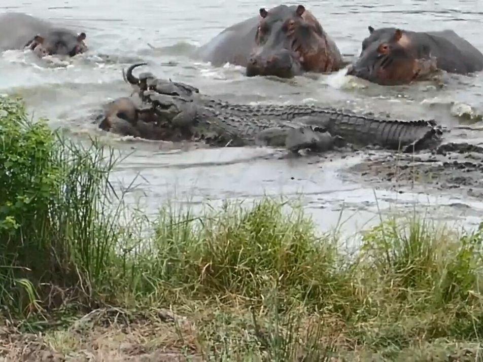 En Afrique du sud, des hippopotames et des crocodiles s'affrontent violemment