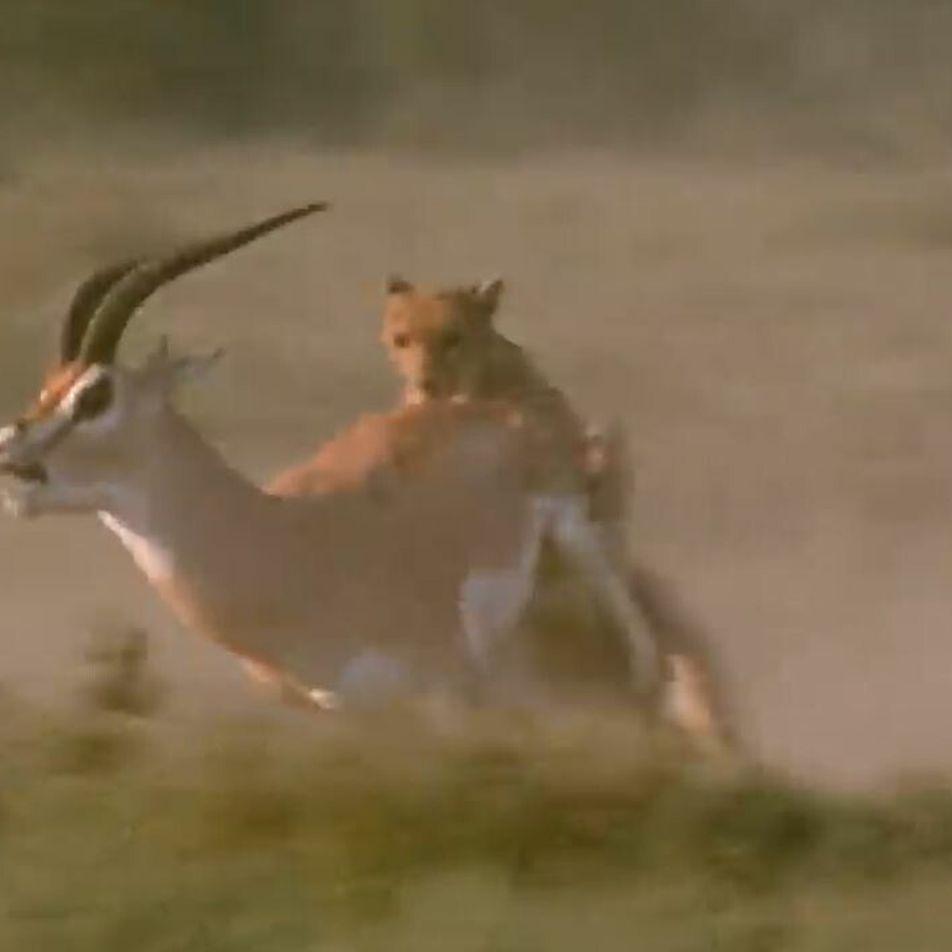Les cornes mortelles de la gazelle de Grant