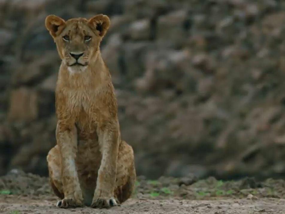 Une lionne sauve son petit de l'attaque d'un crocodile