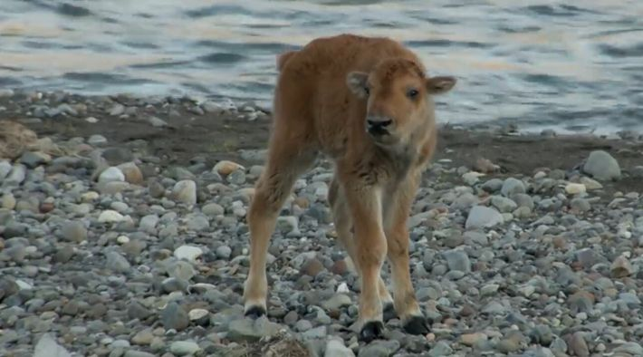 Un bébé bison se bat contre un loup