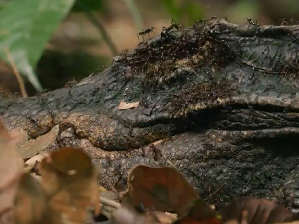 Des fourmis magnans à l'attaque d'un crocodile nain
