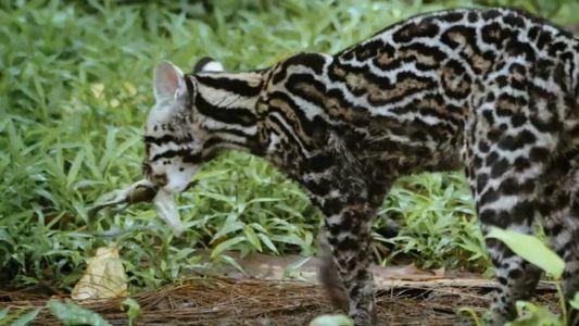 Ce chat-tigre mange des bébés crocodiles