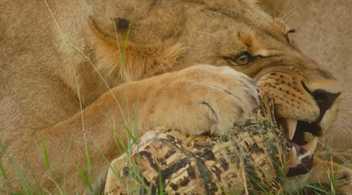Ces lions tentent de briser la carapace d'une tortue