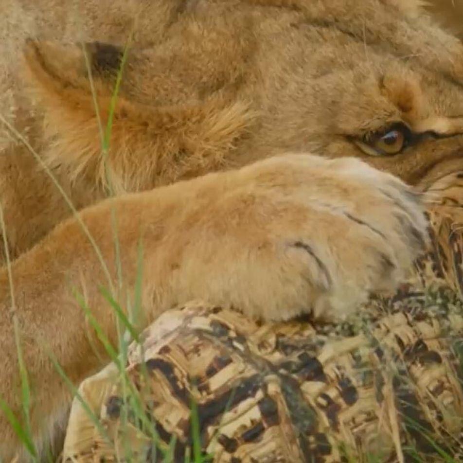 Des lions tentent de briser la carapace d'une tortue