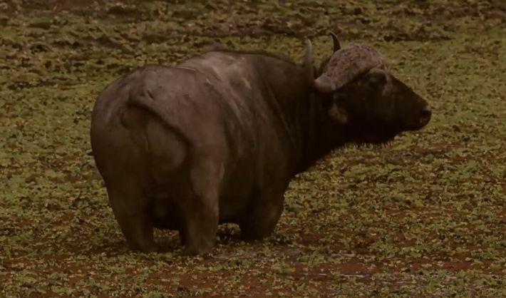 L'astuce ingénieuse d'un buffle pour échapper à ses prédateurs