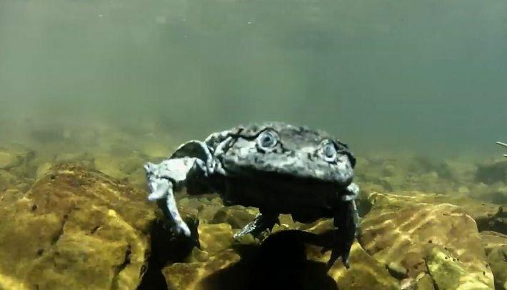 Cette grenouille serait le lien sacré et inattendu entre deux lacs Incas