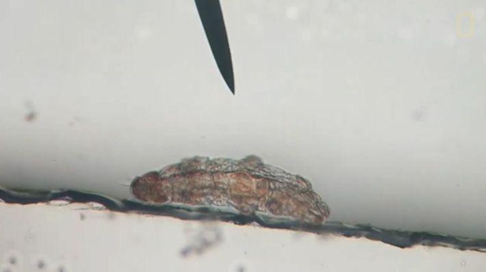 L'indestructible tardigrade