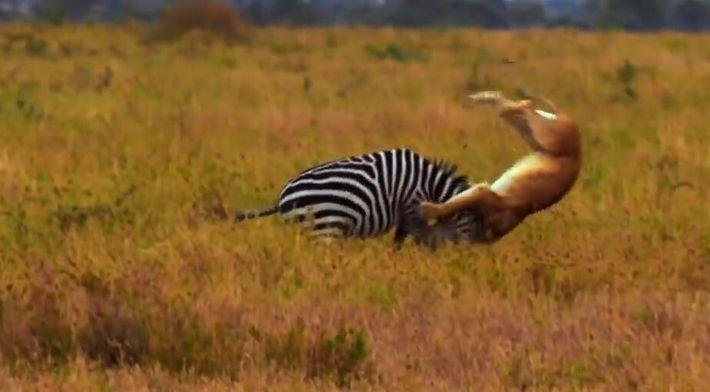 Impressionnante partie de chasse au zèbre